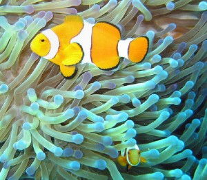 800px-Common_clownfish